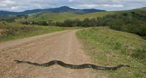 Diamond Python snake